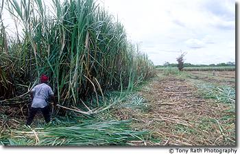 Cutting cane in Northern Belize