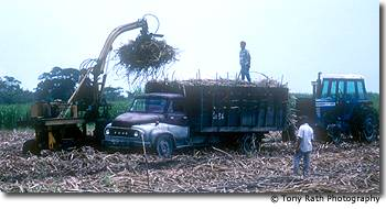 Loading sugar cane onto trucks for the factory