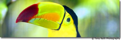 Toucan at Rio Bravo