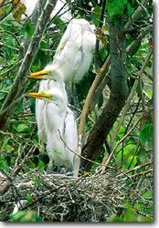 Nest of Great Egret
